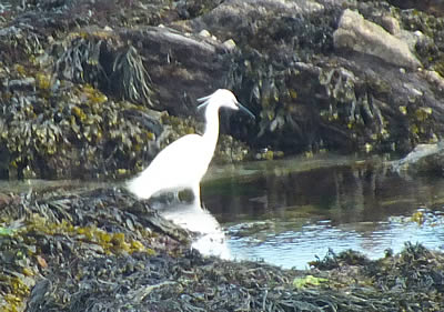 Heron at Hannaford Beach, Looe